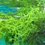 Hasil Budidaya Rumput Laut terus Melonjak hingga tembus Pasar Ekspor