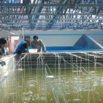 KKP Dorong Broodstock Center guna Perbaiki Breeding Program Udang Vaname