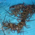 Anggap sebagai Pembohongan, Nelayan Lobster NTB Tolak Bantuan KKP