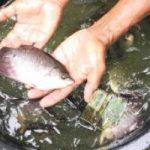 Atasi Penyakit Ikan, KKP Optimis Produksi Perikanan Budidaya Terus Meningkat