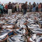 Hasil Produksi Stabil, FAO Optimis Indonesia Jadi Pemasok Pangan Laut Dunia